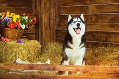 Dog Siberian skrovligt för avel, symbol av det nya 2018 året Royaltyfria Foton
