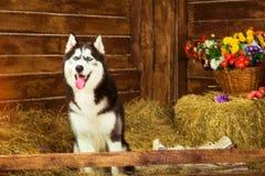 Dog Siberian skrovligt för avel, symbol av det nya 2018 året Fotografering för Bildbyråer