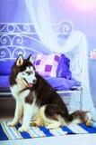 Dog Siberian skrovligt för avel, symbol av det nya 2018 året Royaltyfria Bilder