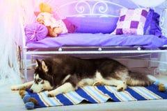 Dog Siberian skrovligt för avel, symbol av det nya 2018 året Arkivfoto