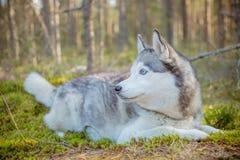 Dog Siberian skrovligt gå för avel i forestSiberian skrovligt för höst, hunden som ligger på grönt gräs i forestPortraiten av arkivfoto