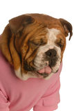 Dog with sick expression. English bulldog with sour face as though tasting something awful Stock Photography