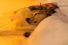 Dog sick , ill or sleeping. Jack russell dog  sleeping under the blanket in bed the  bedroom, ill ,sick or tired, sheet covering its body LOW LIGHT PHOTO Stock Images