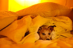 Dog sick , ill or sleeping. Jack russell dog  sleeping under the blanket in bed the  bedroom, ill ,sick or tired, sheet covering its body LOW LIGHT PHOTO Stock Photos