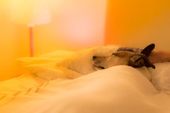 Dog sick , ill or sleeping. Jack russell dog  sleeping under the blanket in bed the  bedroom, ill ,sick or tired, sheet covering its body LOW LIGHT PHOTO Stock Photo