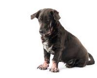 Dog sick leprosy skin problem with Stock Photo