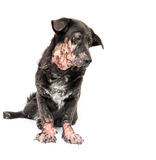 Dog sick leprosy skin problem with Royalty Free Stock Images