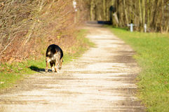 Dog on the side of a path. Single dog walking on the side of a path with green grass on the right and autumn colored trees on the right Stock Photos