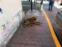 Stray dog blocking the path. A dog on the sidewalk that is blocking the path and shows no intention to move Royalty Free Stock Photography