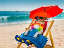 Dog siesta on beach chair. Jack russel dog resting and relaxing on a hammock or beach chair under umbrella at the beach ocean shore, on summer vacation holidays royalty free stock photography