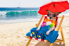 Dog siesta on beach chair. Jack russel dog resting and relaxing on a hammock or beach chair under umbrella at the beach ocean shore, on summer vacation holidays stock images