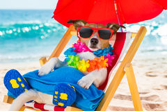 Dog siesta on beach chair. Jack russel dog resting and relaxing on a hammock or beach chair under umbrella at the beach ocean shore, on summer vacation holidays royalty free stock images