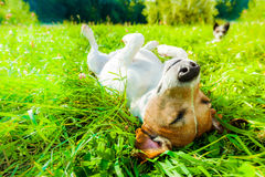 Dog siesta at park. Jack russell dog relaxing and resting on grass meadow at the park outdoors and outside on summer vacation holidays Stock Image
