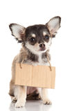 Dog with sign board chihuahua isolated on white background Stock Photo