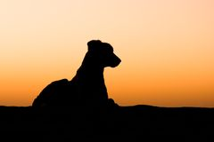 Dog silhouette. Silhouette of a desert dog lying on a sand dune at sunset - Thar desert, Rajasthan, India Royalty Free Stock Photos