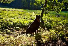 Dog silhouette. Black dog silhouette outdoor in the summer Royalty Free Stock Image