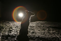 Dog silhouette in the headlights Stock Images