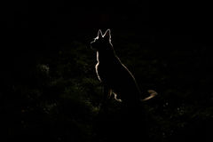 Dog silhouette at night
