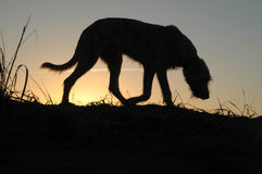Dog Silhouette. The silhouette of a younger irish wolfhound seen with the early morning light as background Stock Images