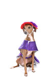 Dog in silly purple and red costume Royalty Free Stock Photo
