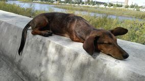 A dog similar to the dachshund lies on the embankment of the river, the background Royalty Free Stock Photos