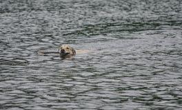 dog simning fotografering för bildbyråer