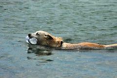 dog simning Arkivfoton