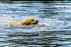 Dog simning i insats sjön nära Kamloops British Columbia, Kanada royaltyfria foton
