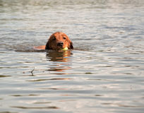 Dog simning i sjön med bollen i mun Royaltyfri Fotografi