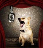 Dog in singing performance on stage. Spitz dog with microphone in singing performance on stage stock photography