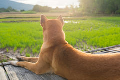 Dog sit on the old bamboo bridge near rice field. Warm tone Royalty Free Stock Images