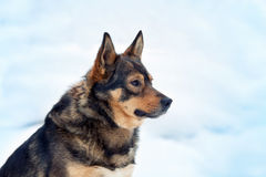 Dog siting in snow. Portrait of a dog on a snowy background stock photos