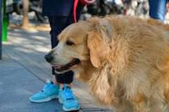 Big dog next to a boy in the street. royalty free stock photography