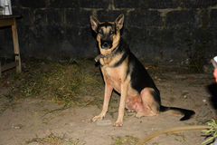 Dog sits. The dog is called and asked to sit. Does as its asked. happy dog. Lagos Nigeria. Alsetian Stock Photos