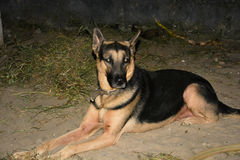 Dog sits. The dog is called and asked to sit. Does as its asked. happy dog. Lagos Nigeria. Alsetian Stock Image