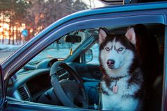 Dog sits in car in driver`s seat and looks out window. Serious Siberian husky looks from car window at camera. stock photography
