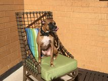 Dog sits on a chair in the back yard Stock Photo