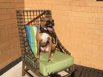 Dog sits on a chair in the back yard Stock Images
