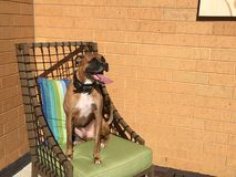 Dog sits on a chair in patio furniture with tongue. Brindle boxer dog makes silly face on a spring day stock photo
