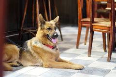 A dog sits on the floor. In a cafe room amongst the wooden furniture royalty free stock photo