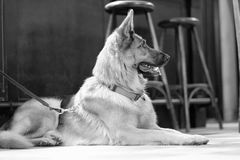 A dog sits on the floor. In a cafe room amongst the wooden furniture royalty free stock images