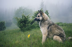 Dog sits in green grass in the fog in a forest and looks into the distance. Foggy summer day. Royalty Free Stock Photo