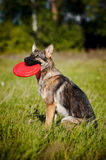 Dog sits and keeps disc Stock Photo