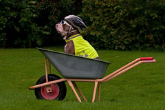 Dog sits protected in a wheelbarrow