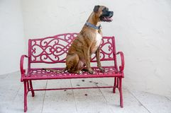 dog sits on a red bench royalty free stock photo