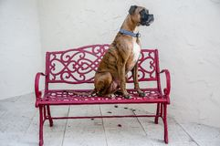 dog sits on a red bench stock images