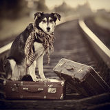 The dog sits on a suitcase on rails Stock Photos