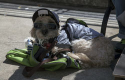 Dog sits wearing cap near Yankee Stadium in the Bronx. BRONX, NEW YORK, USA - APRIL 10: Dog wearing cap in near Yankee Stadium.  Taken April 10, 2017 in New York Stock Images