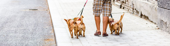 Dog sitter man and four dogs Stock Photography