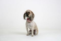 Dog Sitting. Shi tzu breed looking up while sitting on white backdrop Royalty Free Stock Photo
